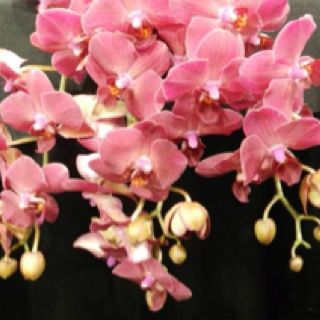 Dendrobiums :)