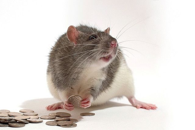 """To be a rat is to be tight-fisted. """"No seas rata, déjame €5."""" - Don't be so tight-fisted, lend me €5."""
