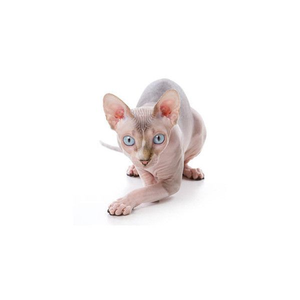 The Sphynx Cat ❤ liked on Polyvore featuring animals, cats, animali, fillers and animais