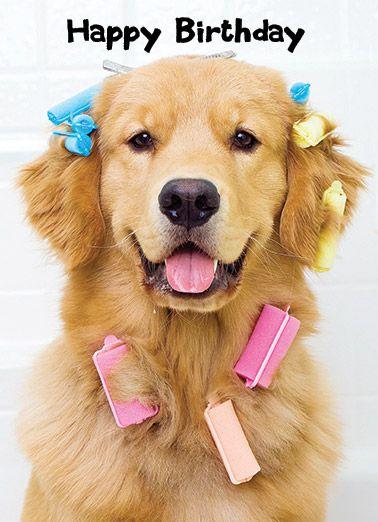 Funny Birthday Card Golden Retriever Curlers Cute Here S To