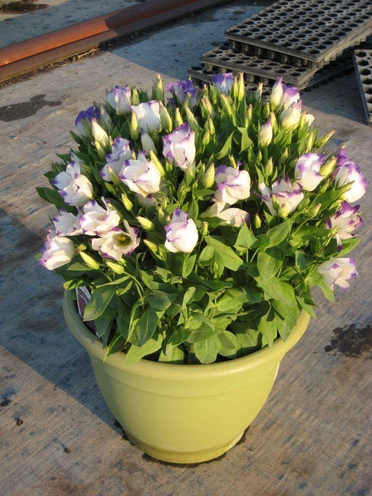 Для, цветы эустома цена и уход