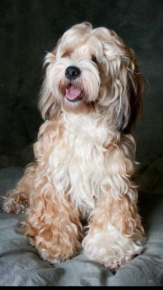 This Looks Like A Tibetan Terrier Cocker Spaniel Mix To Me