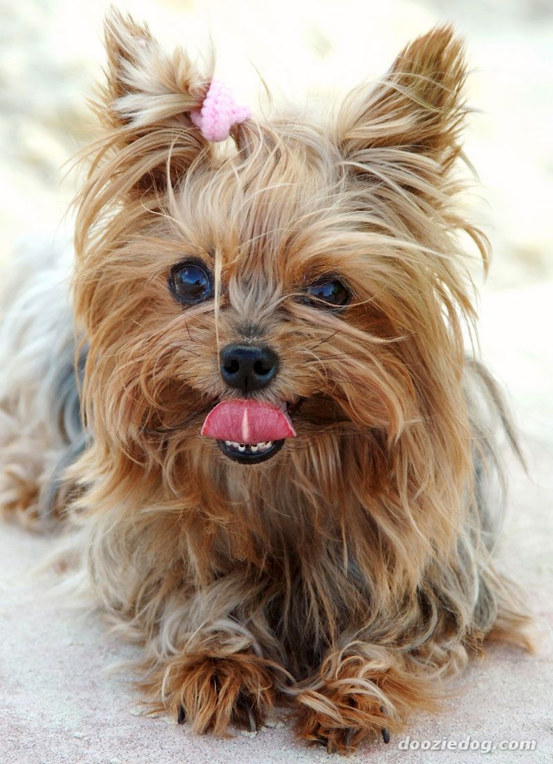 Image for yorkshire terrier dog picture race