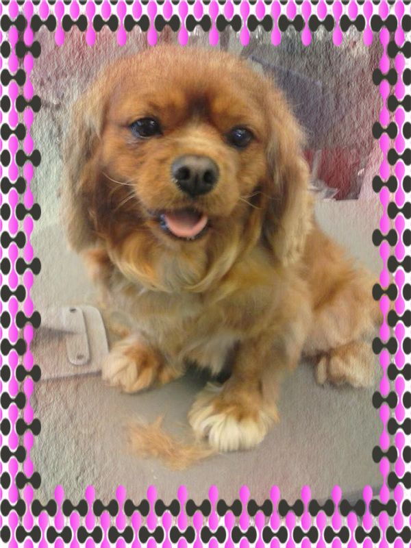 Coming Soon Ariel S House Call Grooming Home Groomer Dog Cavelier King Charles Spaniel Slipper Feet Dog Grooming Dogs House Call