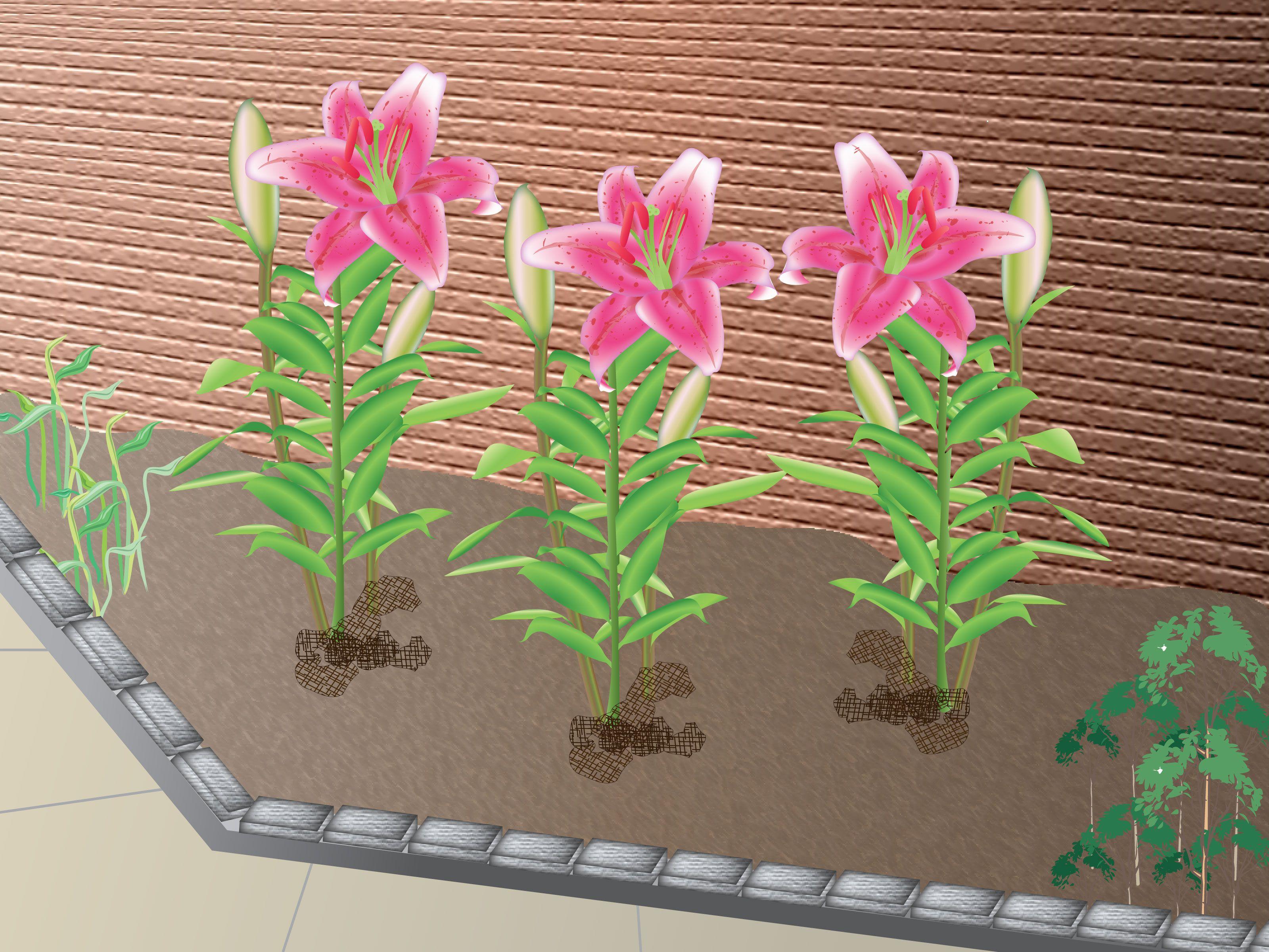 Grow stargazer lilies garden pinterest stargazer gardens and how to grow stargazer lilies via wikihow izmirmasajfo
