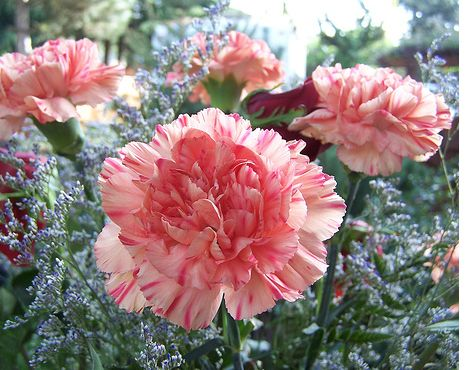 Carnations Flowers The Advantages Of Growing Carnations Growing Carnations Carnation Flower Pictures Carnation Flower