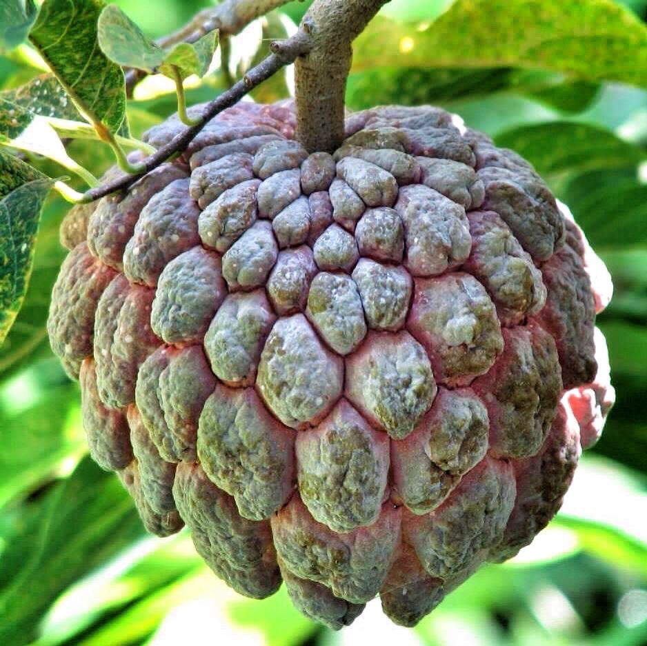 Star apple Tropical fruits, Fruit, Apple plant
