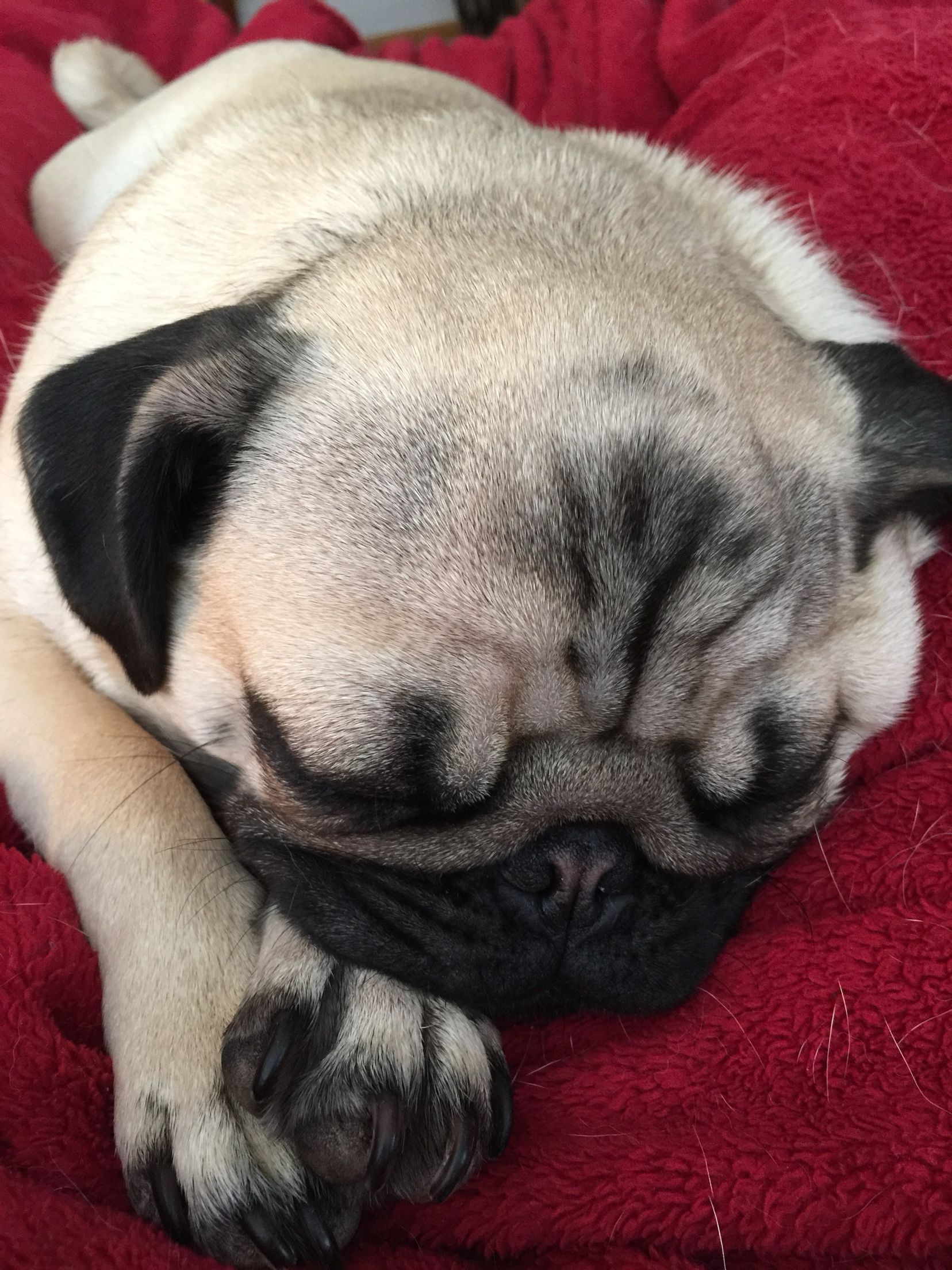 Sweet Lily Sleeping On This Cold Snowy Ky Day Cute Pugs Pugs