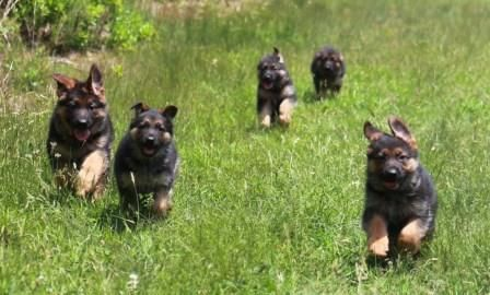 German Shepherd Dog Puppy For Sale In North Bergen Nj Adn 22390