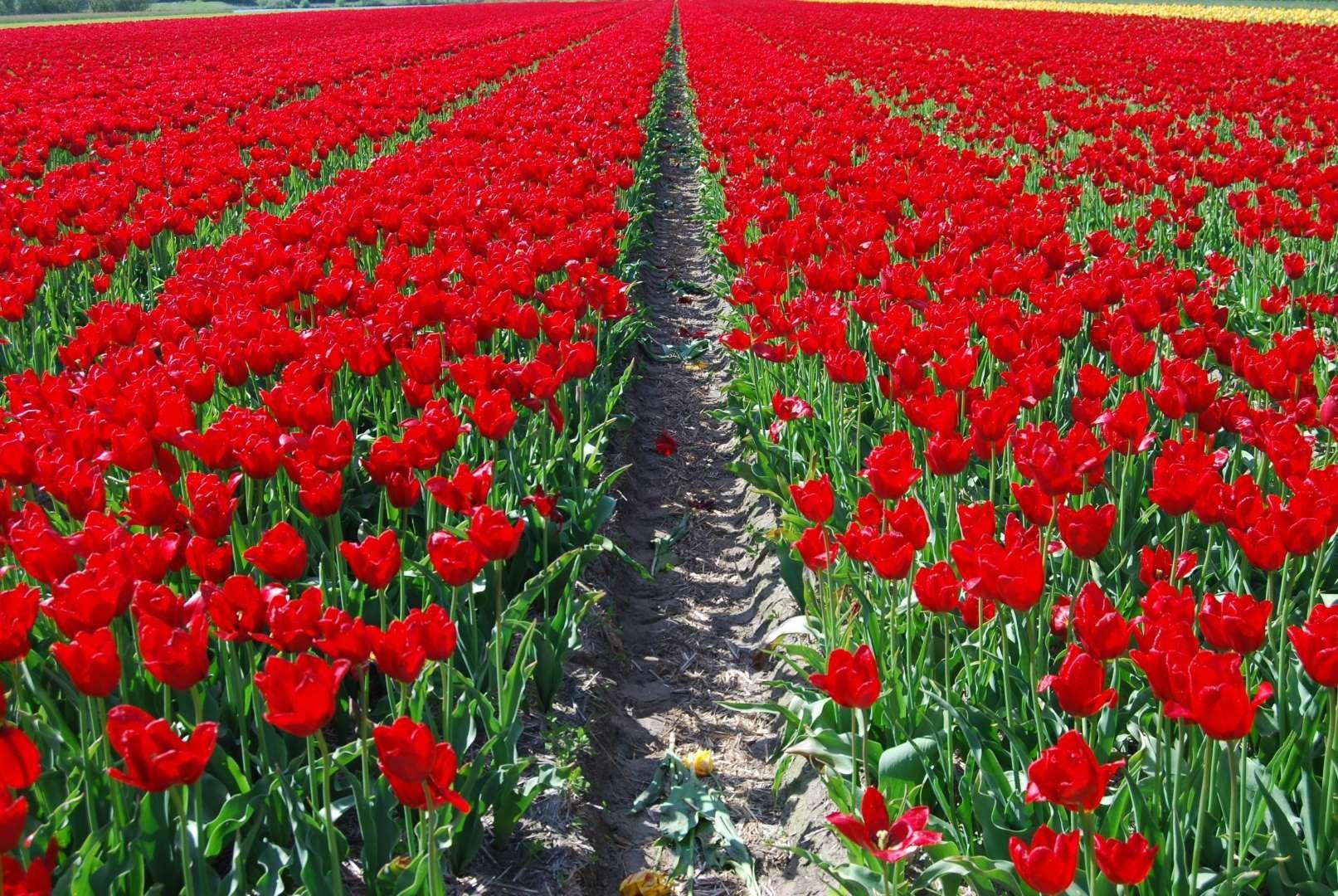 Spring tulip garden in full bloom along fence line