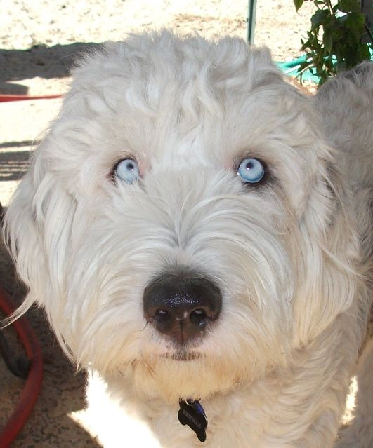 Old English Sheepdog Old English Sheepdog English Sheepdog