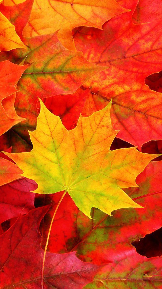 真っ赤な紅葉 スマホ壁紙/iPhone待受画像ギャラリー Fall Wallpaper - free fall powerpoint background