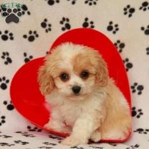 Cavachon Puppies For Sale Cavachon Dog Breed Cavachon Puppies Cavachon Puppies