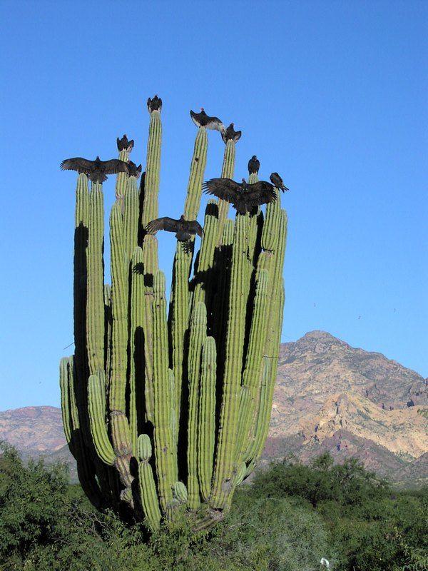 Photo of Turkey Vultures (Cathartes aura) on cardon cactus (Pachycereus pringlei)