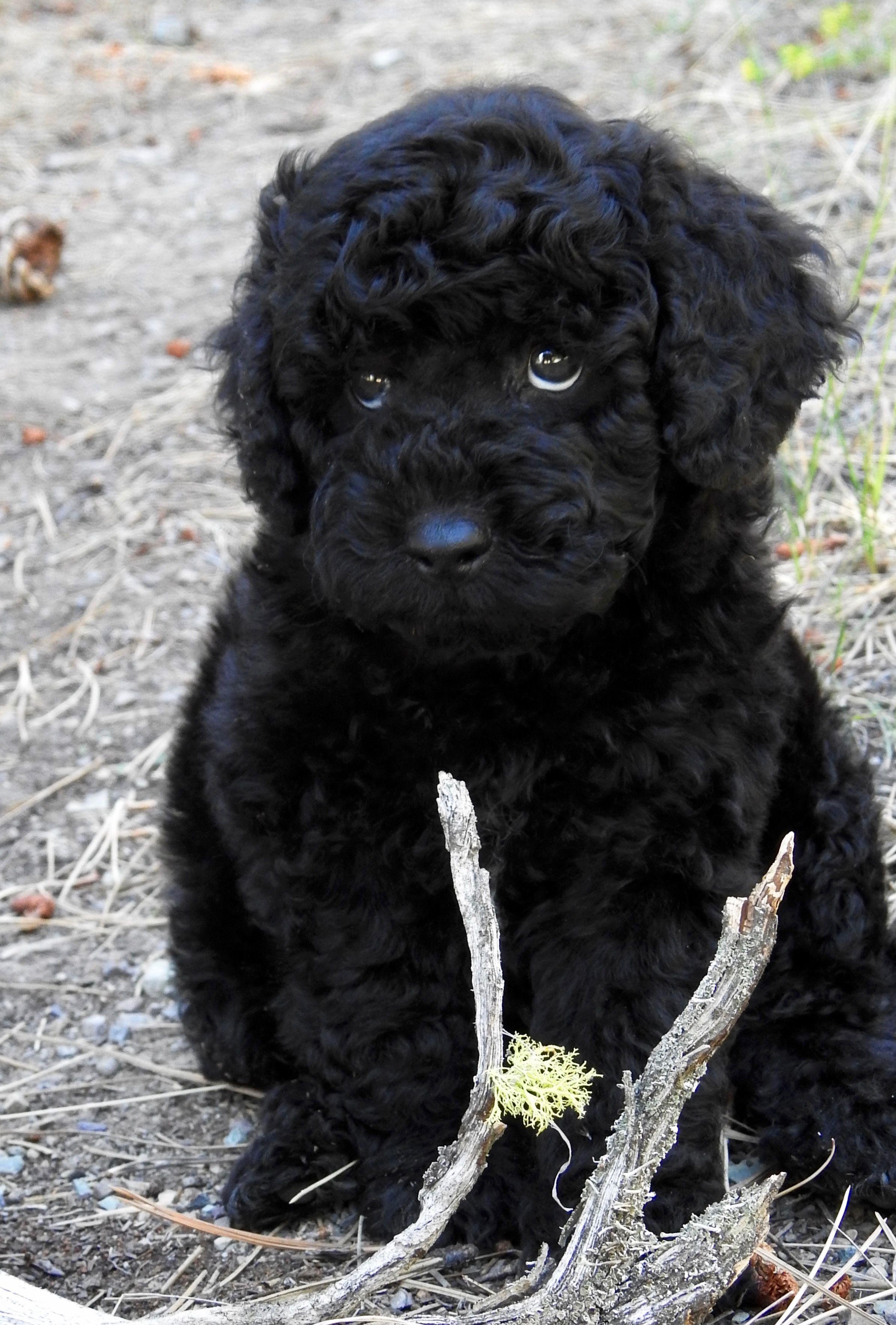 Black mini Australian Labradoodle Puppy for sale