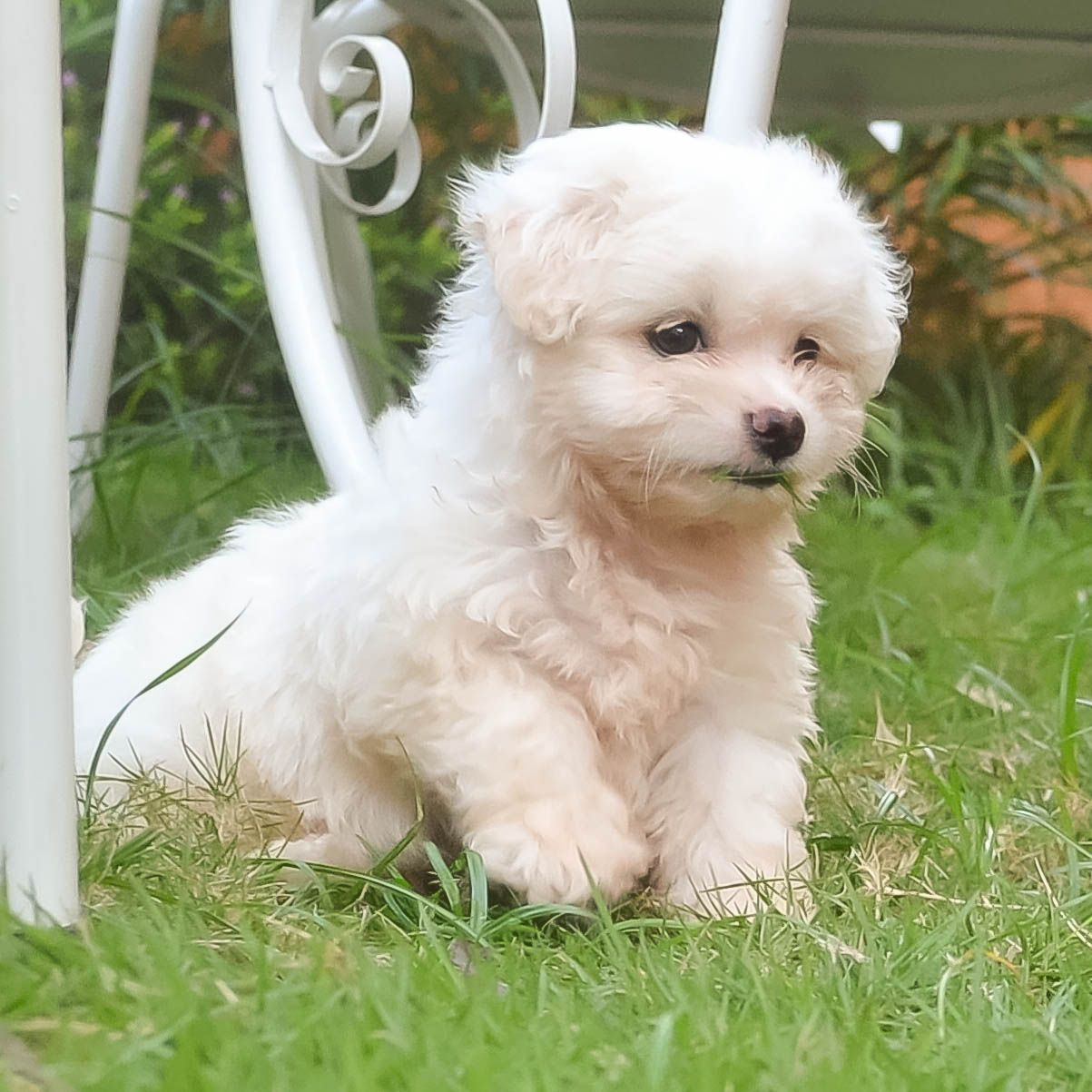 Can We Get Some Love Up In Here For Maltese Terrier Puppies