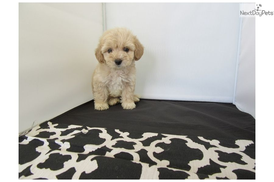Malti Poo - Maltipoo puppy for sale near Orange County