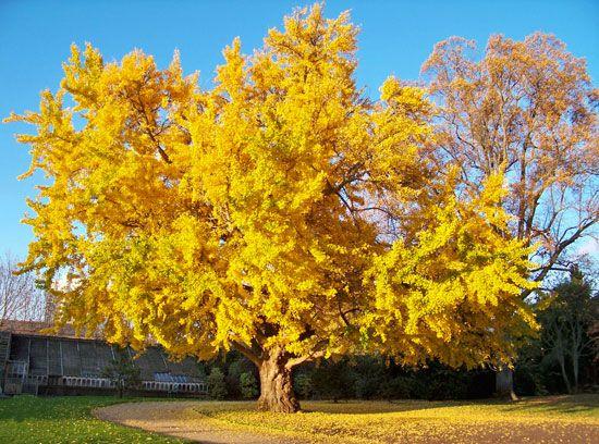 شجرة الجينكوبيلوبا