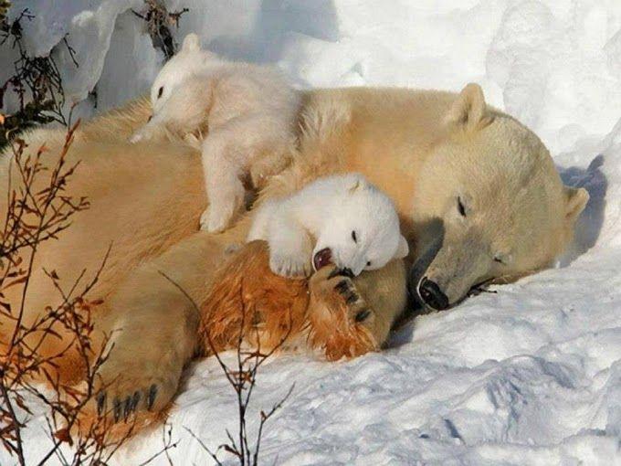 ursa e filhotes