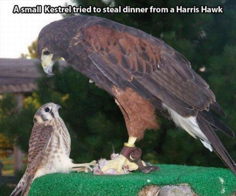 Random Pictures Of The Day 43 Pics Daily Lol Pics Animals Harris Hawk Cute Animals