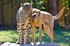leopard & dog
