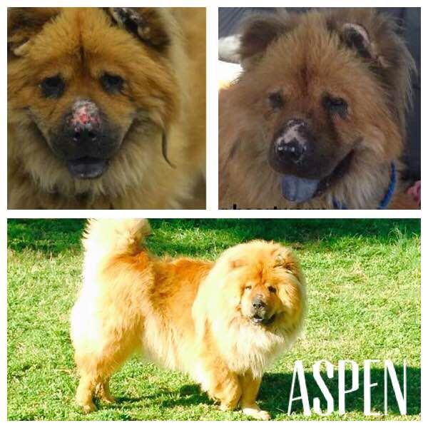 Pin By Wendy Brown On Chow Chows Palny Chow Chow Pet Adoption Pets