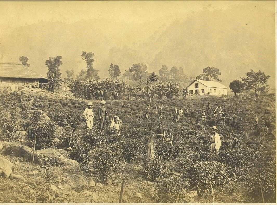 Tea pickers and owners, Darjeeling, India c.1880's British