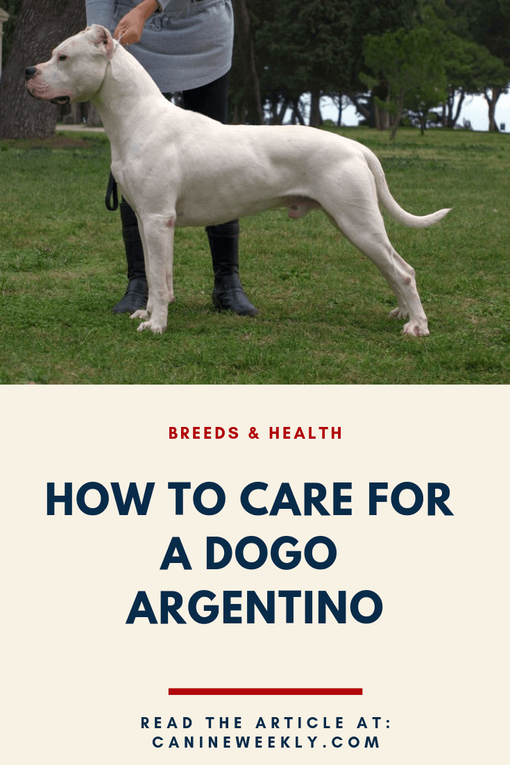 Dogo Argentino Size Temperament And Health Dog Argentino Dog Training Dogo Argentino