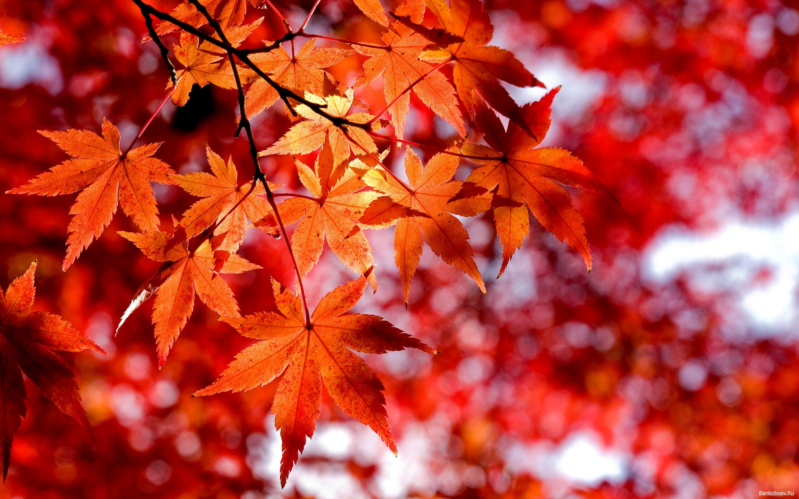 El Símbolo Nacional De Canadá Es La Hoja De Arce Autumn Leaves Wallpaper Autumn Photography Red Maple Tree