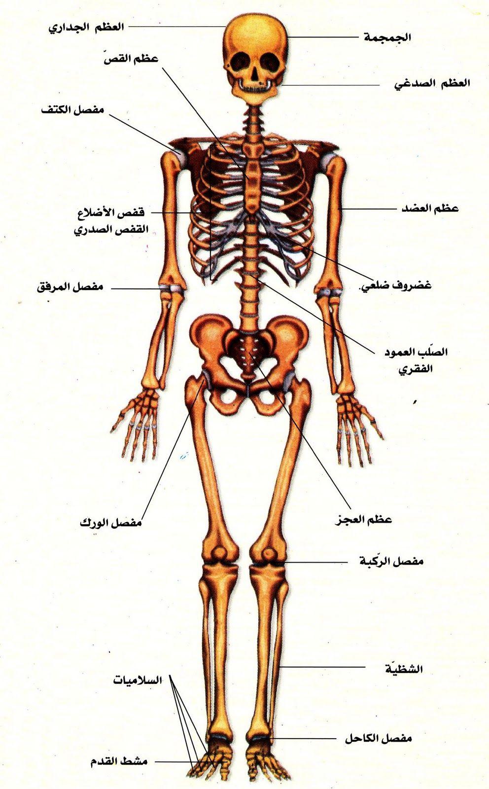 رسم توضيحي للعظام الطويلة في الهيكل العظمي للإنسان متضمنا علاقة القدم وأصابع القدم بالجسم Illustrati Cool Science Projects Fun Science Brain Nervous System