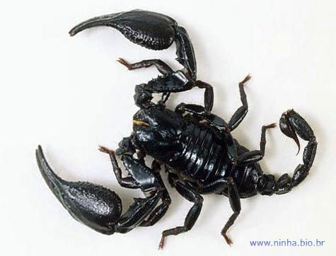 escorpiao negro - Pesquisa Google