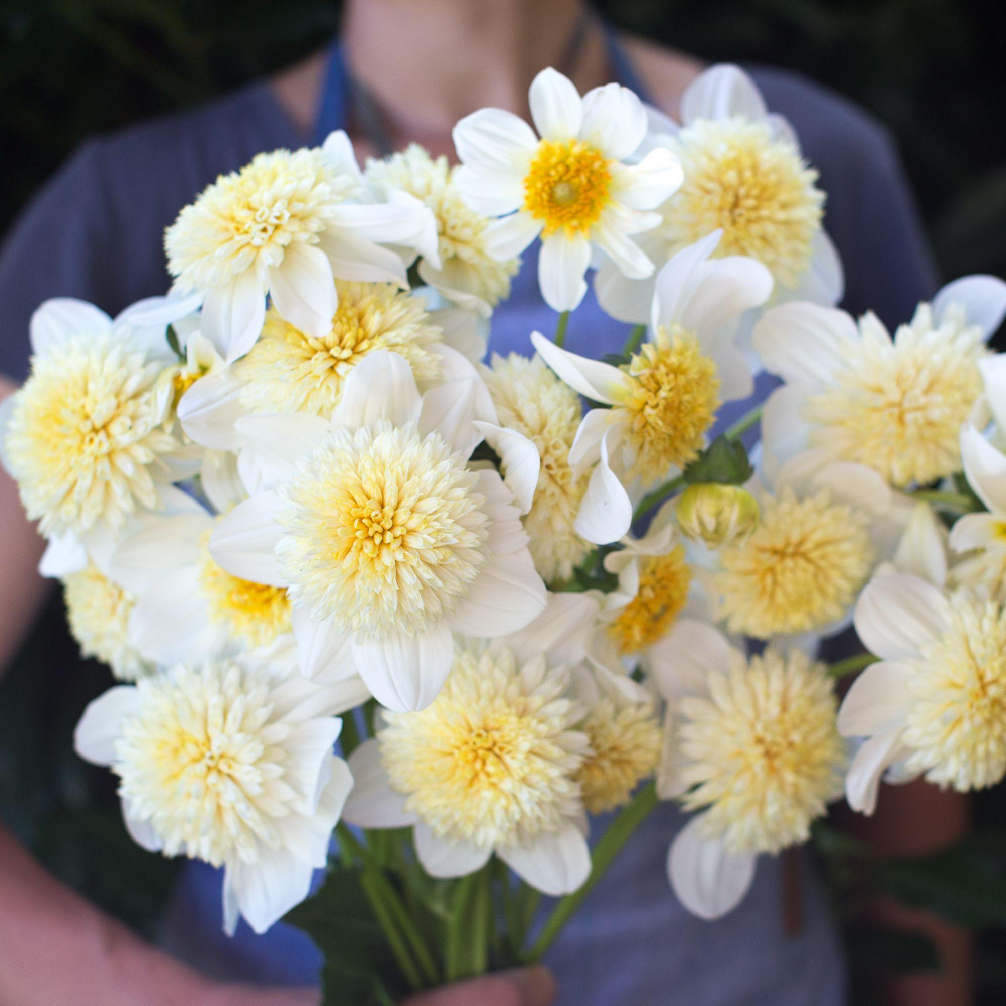 Dahlia platinum blonde blondes dahlia and flower types product description dahlia platinum blonde one of the most unusual varieties we grow flowers resemble double flowered echinacea izmirmasajfo
