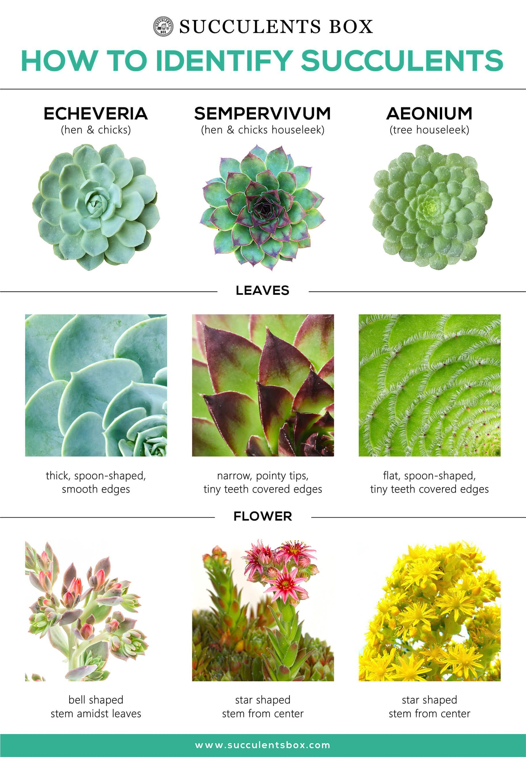 How To Identify Different Types Of Succulents Part I Echeveria
