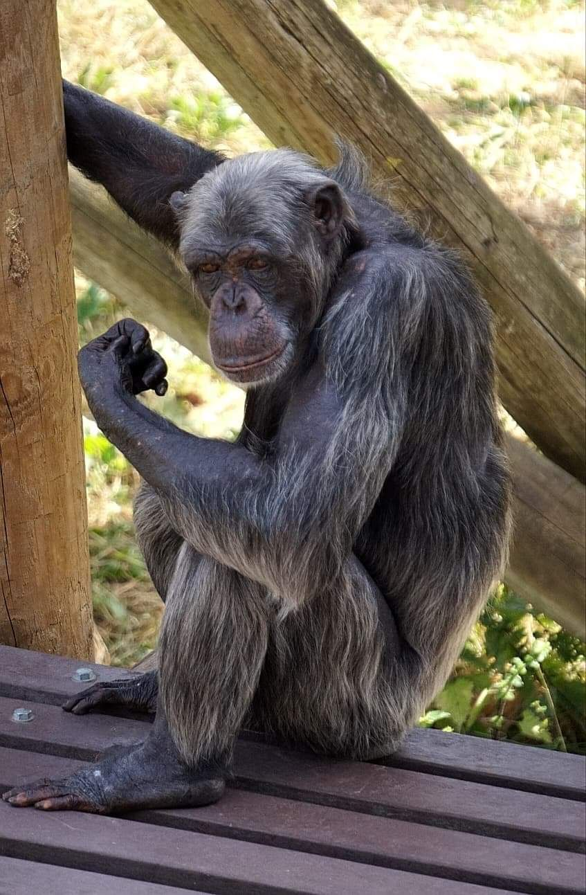 Pin By Virginia Brauer On Chimpanzee Chimp Chimpanzee Apes