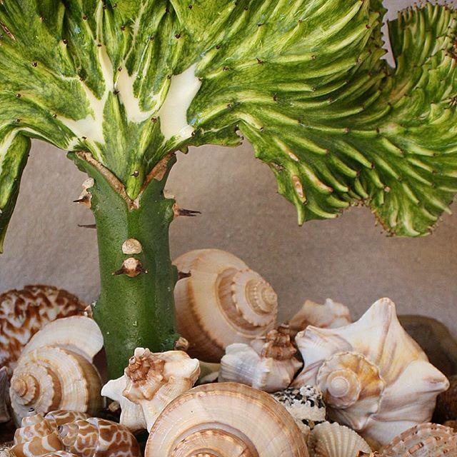 Crested Euphorbia lactea looking undersea. #designingwithsucculents #debrasgarden #debraleebaldwin #succulentlove #succulentchic #seatheme #succulents #euphorbia #garden #gardenwhimsy #gardening