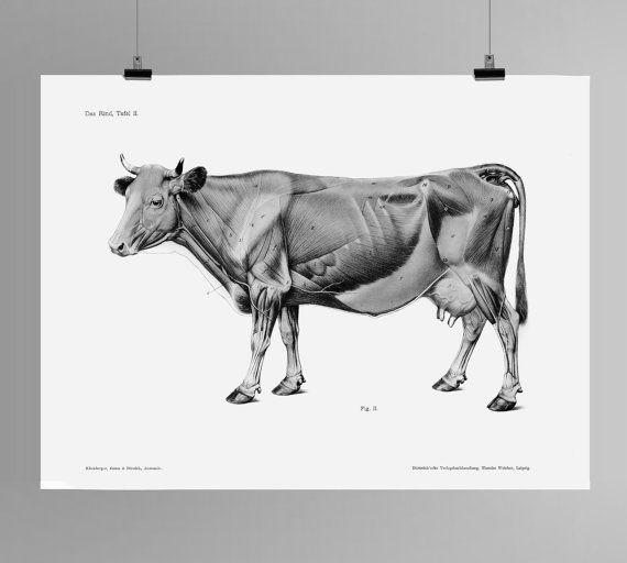 Vaca y Toro HD impresión Das corteza Tafel II anatomía Handbuch der ...