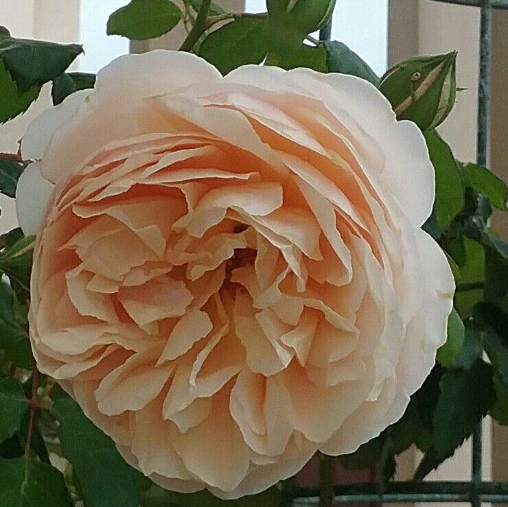 """Mme Paule Massad"" rose"