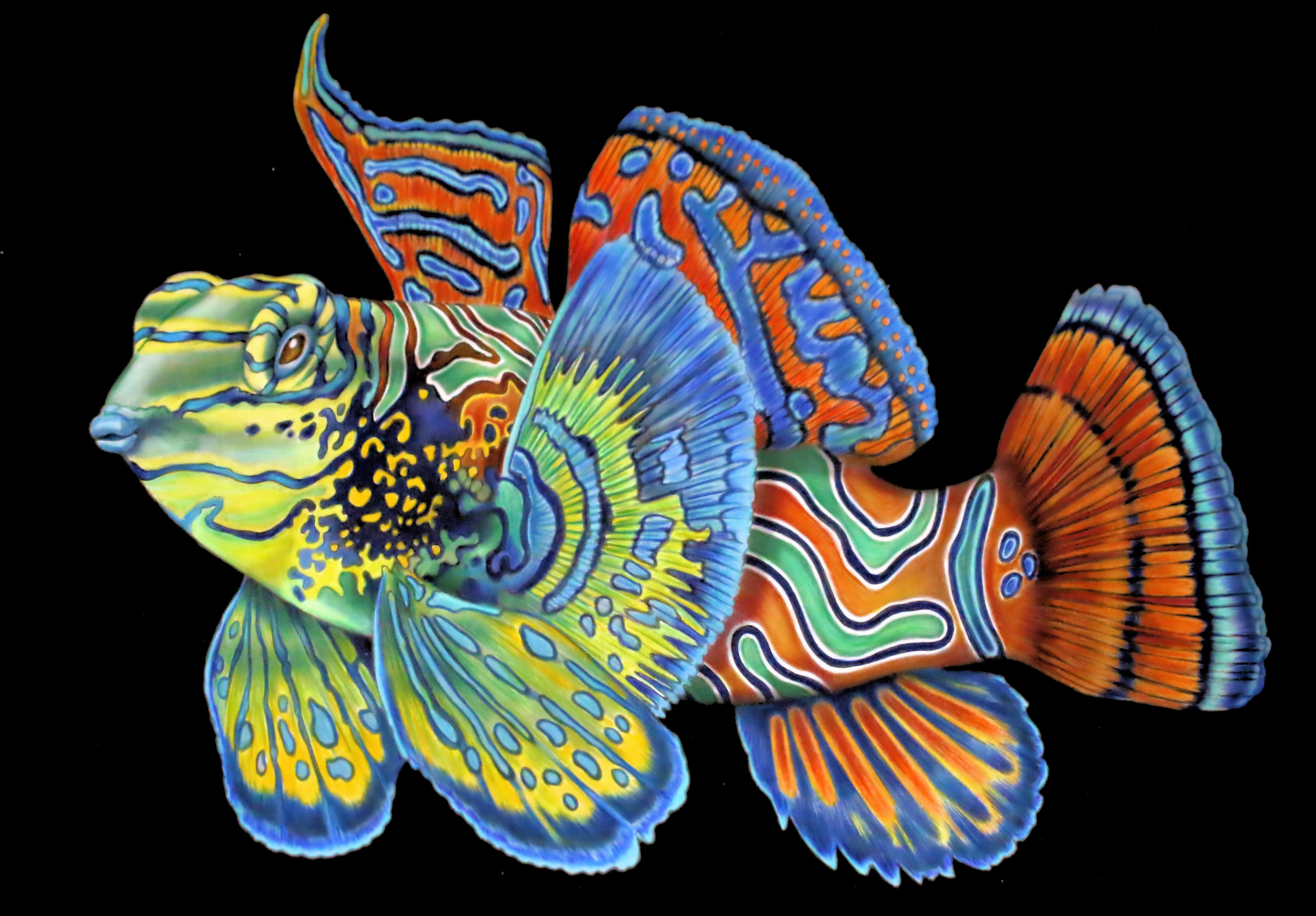 Mandarin Fish That I Coloured From Intricate Ink Animals
