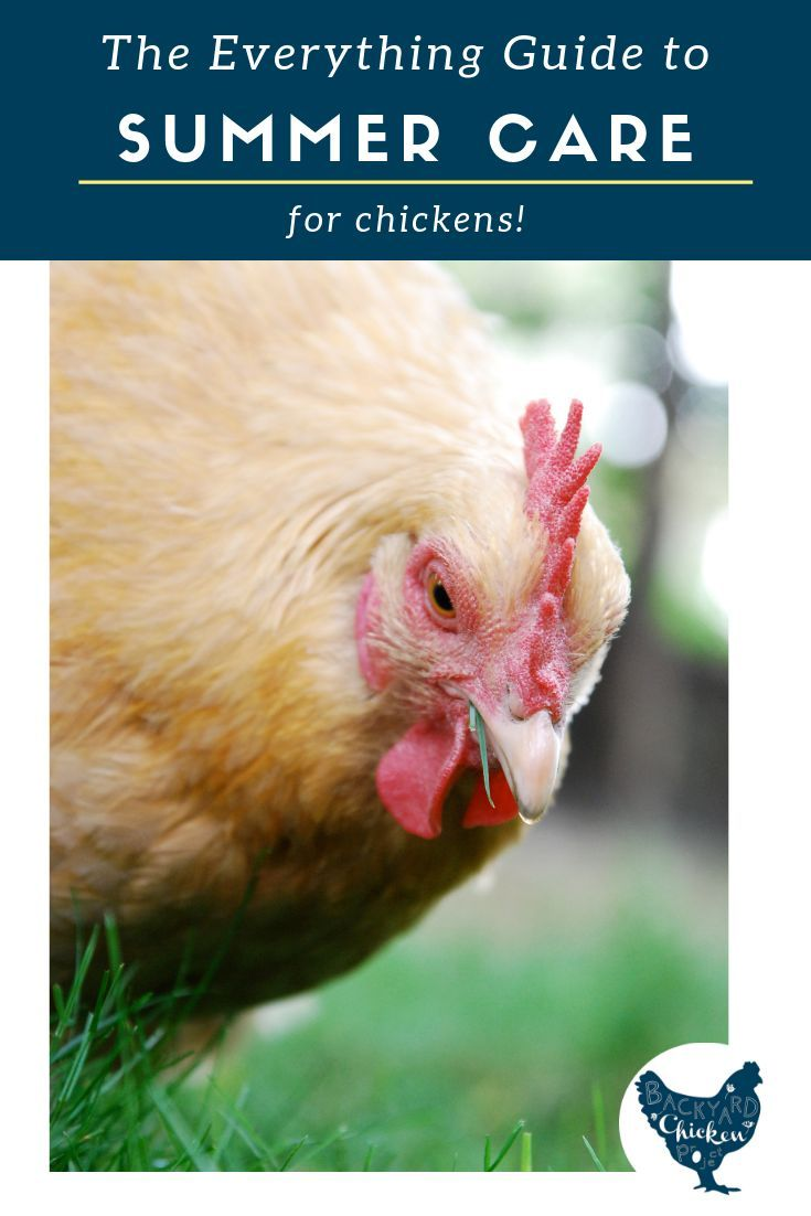 The Everything Guide to Summer Chicken Care | Summer ...