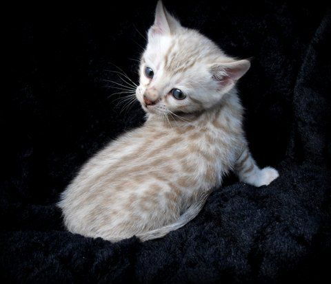 Adorable Snow Bengal Kittens On Asianfirebengals Com Bengal Kitten Bengal Cat Cute Baby Animals