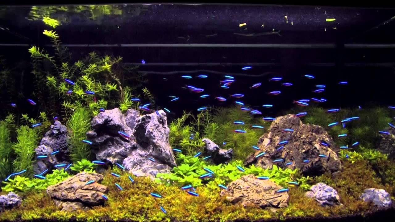 100 Cardinal Tetra In An Aquascaping Tank Neon Tetra Tetra Fish Home Aquarium Fish
