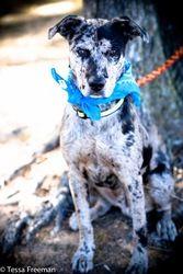 Adopt Mason On Australian Cattle Dog Dogs Pets