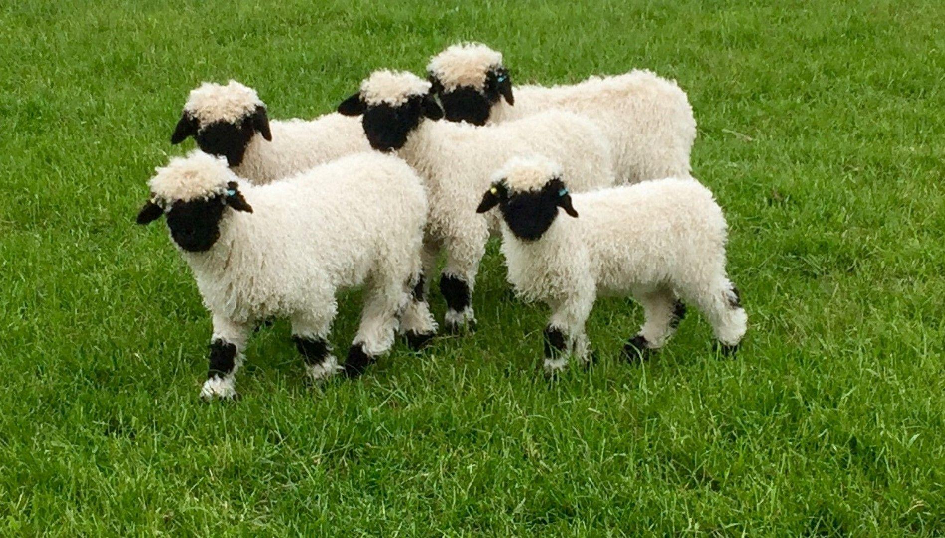 Photo 03062016, 6 37 12 pm.jpg Valais blacknose sheep