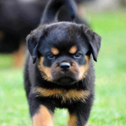 Grumpy Widdle Face So Cute Rottweiler Dog Rottweiler Lovers