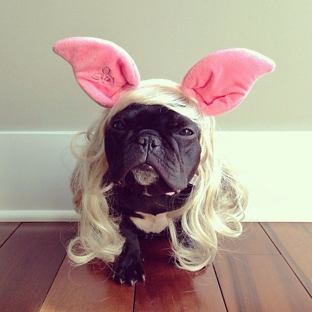 Dog In A Wig French Bulldog Wearing A Wig And Piglet Ears