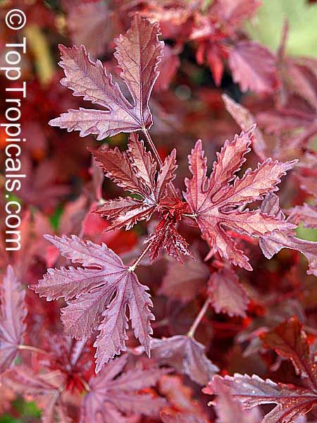 Cranberry Hibiscus Leaves Hibiscus Acetosella Wikipedia The