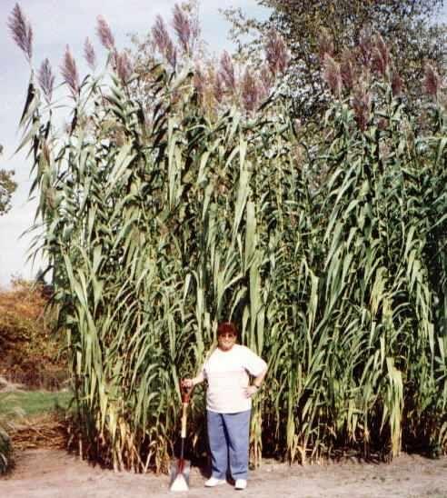 Arundo Donax Giant Cane Or Giant Reed Garden Ideas