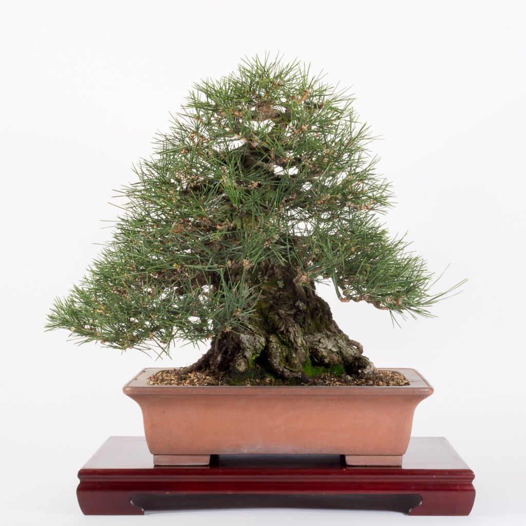 Refining A Black Pine Bonsai Tonight Pine Bonsai Black Pine Bonsai Bonsai