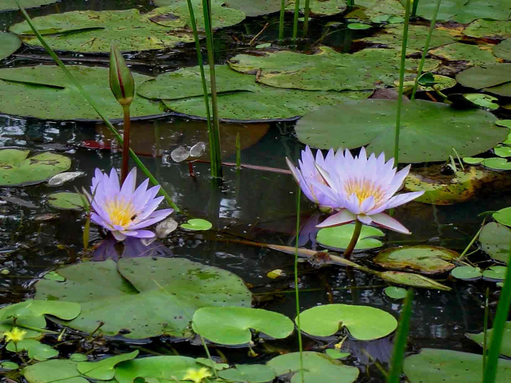 Nymphaea nouchali var caerulea lotus pinterest zimbabwe flora of zimbabwe species information individual images nymphaea nouchali izmirmasajfo