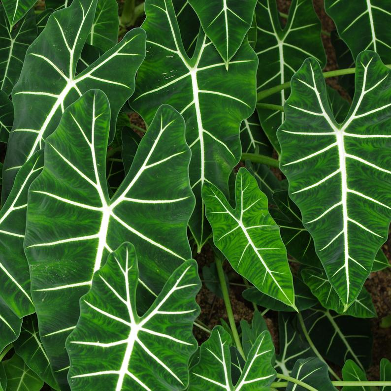 Alocasia - Frydek - Elephant Ear Live House Plant Green tropical garden Unique